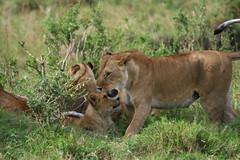 The BBC BigCat Diary Marsh Pride (Cassio Lopes & Alessandra Santos) Tags: africa nature animal mammal kenya wildlife lion safari bigcat bbc predator lioness masaimara bigcatdiary marshpride flickrbigcats cassioaleall