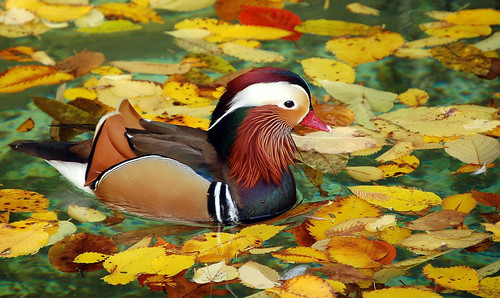 Mandarin Autumn