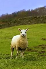Sheep (sparky2000) Tags: nature animal animals mammal scotland natural farm scottish mammals naturalworld farmanimals animalkingdom mammalia dumfriesgalloway domesticated farmyard 英國 sparky2000 vosplusbellesphotos stuartreynolds stuartrobertsonreynolds robersonreynoldsphotography