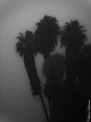 Fog Palms (stormdickinson) Tags: california bw losangeles nik 2008 recent olympuse500 stormdickinson