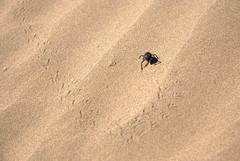 A beetle in the sands (Arash_Khamoosh) Tags: plant sand track desert iran dune beetle footsteps   desertlife mesr canon1785 canon1785isusm   canond400  jandagh   sandbeetle     mesrdesert