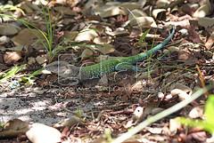 DSC01519 (Mauricio_Miranda) Tags: rptil lagarto teiu