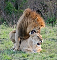 Mating Lions in Masai Mara National Reserve (Saran Vaid) Tags: africa wild portrait male nature beautiful beauty animal female speed cat pose mammal golden dangerous eyes king glare kenya expression wildlife coat lion reserve sigma safari mara stare mating hunter savannah elegant simba mate predator creature habitat powerful lioness masai spotting animalkingdom mane lionking bornfree dominant savanna bigfive sighting masaimara kenyasafari riftvalley matinglions naturesfinest pantheraleo masaimaranationalreserve bej bigcatdiary canoneos400d masaimaranationalpark sigma170500mm ourplanet livingfree flickrbigcats sigma170500mmf563dgapo