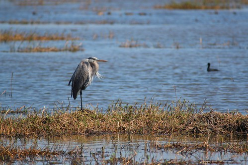 Great Blue Heron - 3/16/2009