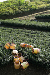(Arte Lee) Tags: nature canon tea taiwan   oolongtea                    taiwanoolongtea