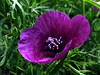 amapola violeta * Roemeria hybrida (jacilluch) Tags: azul purple blu poppy rosella coquelicot papaver poppys amapola papavero cornpoppy papoula gineceo adormidera ababol mitxoleta papaverorosso papuela roemeriahybrida ababolmorado