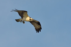 Osprey with Dinner DSC_8988 by Mully410 * Images