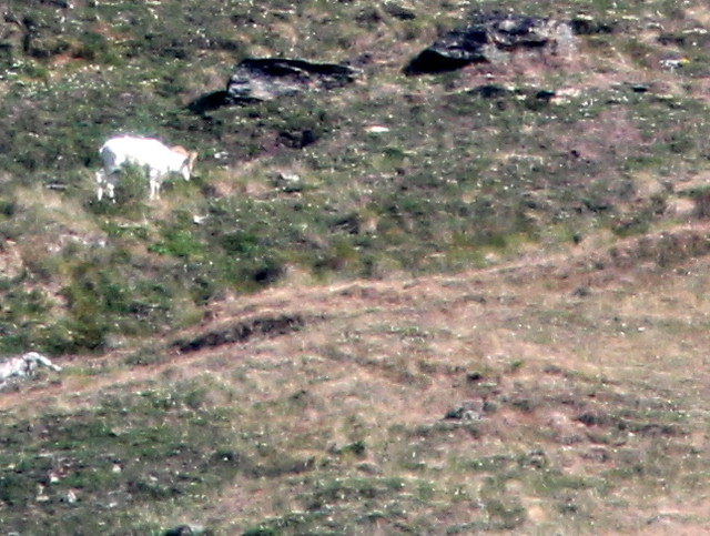 Distant Dall ram 20110619