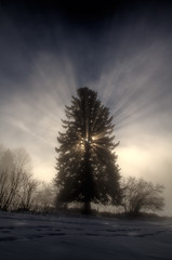 The king of trees (reloaded) (losvizzero) Tags: blue winter light sky snow cold tree sunshine fog pinetree pine clouds rays sunrays hdr neuchâtel chaumont 3waychallenge 3waychallengewinner flickrchallengegroup flickrchallengewinner 15challenges friendlychallenges friendlychallengeswinner