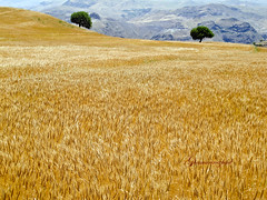 Wind in Cropland (starrypix) Tags: nature beauty spring wind together cropland azarbaijan twotree azarbayjan starrypix