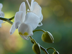 Lovely white (dolorix) Tags: plant orchid flower nature blossom natur pflanze phalaenopsis orchidee blume blüte excellence mywinners theunforgettablepictures brillianteyejewel