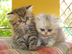 Band of brothers... (catherine.caf) Tags: cat persian kitten chat chaton themoulinrouge persan kittenmagazine kissablekat bestofcats impressedbeauty kittyschoice flickrenvy vision100