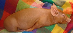 It's that kind of day. (LisaNH) Tags: heritage pig outdoor farm nh explore lap slowfood piglet hog minerva humane tamworth myeverydaylife pastured i500 grassfed albc mackhillfarm wtmwgroupiconwinner lappig humanelyraised growfood arkoftaste
