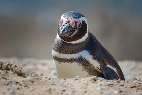 Penguino2441.jpg