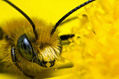 Miner Bee March 2008 series 2-1 (Dalantech) Tags: macro nature yellow canon insect bravo bee daisy mpe65 blueribbonwinner firstquality mt24ex supershot minerbee mywinners excapturemacro theenchantedcarousel dalantech johnkimbler