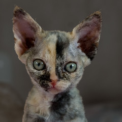 Chessie (peter_hasselbom) Tags: portrait cats face cat kitten flash kittens ps tortie devonrex torty cc100 cc1000 cat1000 tortoisshell