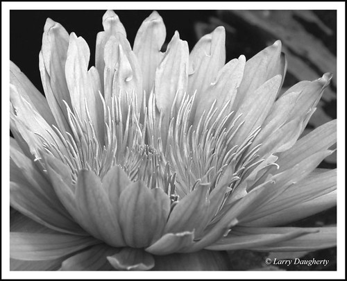 Water Lily in Black and White at the Botanical Garden