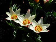 Tulipa kaufmanniana 'Ancilla'
