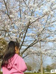 さんぶの森公園のソメイヨシノ