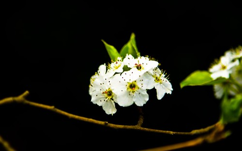 Bradford Pear Bloom