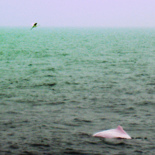 The pink dolphins in Hong Kong are really pink! Whenever I read about pink