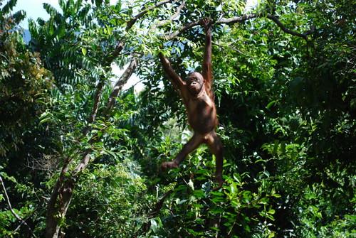 orangatun_tree_1
