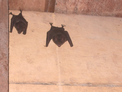 Bats in the Battery house