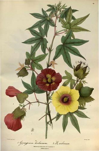 Flora of the Cashmere - Gossypium herbaceum + G. arboreum