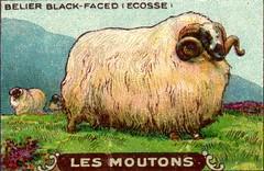 mouton 11
