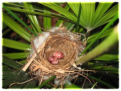 Two lovely eggs of Pycnonotus goiavier (Yellow-vented Bulbul), shot June 6, 2008