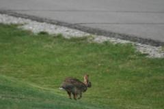 IMG_2399 (Blackavar Lion) Tags: rabbit bunny conejo running hazel coelho  lapin watershipdown kaninchen fiver    canonrebelxti blackavar telephotos  2be2176f59cfac7c3f99b44a73b29c9b