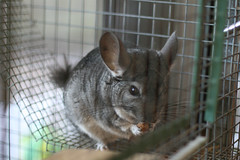 Chinchilla in it's cage