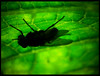 behind the leaf (Neon Cyan) Tags: naturaleza macro green hoja contraluz dark fly leaf mosca pelitos polipos organismo