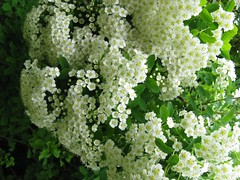 Spiraea a. 'Anthony Waterer' Japanese White Spirea