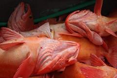 yelloweye (smihan13) Tags: orange color with nothing naranja rhymes blorenge rhymeswithorange netneutrality matters2me sitkaalaskafishing