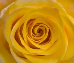 Yellow Rose Whirls (Theresa Elvin) Tags: flower macro rose yellow damniwishidtakenthat
