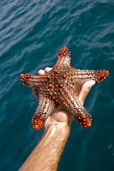 "Star Fish ""Explored"" xD!!! (Shakir's Photography) Tags: red sea fish island star persian pretty gulf deep diving spots saudi arabia jana arabian   shanko"