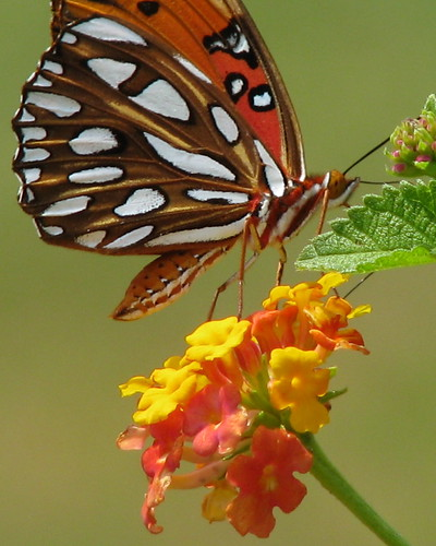 Gulf fritillary ... at the farm