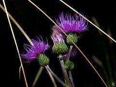 Lines and color (Paco CT) Tags: flower spain flor catalunya 2008 vegetal cardo valledearan valdaran ltytr2 ltytr1 pacoct