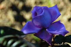 Una rosa blu   - Blue rose (Tati@) Tags: plants flower primavera colors rose garden flora blu rosa picturesque piante colori bluerose naturesfinest spingtime fantasticflower rosablu mywinners abigfave isawyoufirst theunforgettablepictures theunforgettablepicture goldstaraward wonderfulworldofflowers qualitypixels xtremeboquet fioridicarota