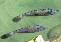 Blue fish (agusiamilusia) Tags: key largo isla morada