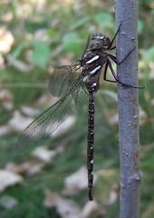 darner of the shadows (Stylurus) Tags: shadow male river insect dragonfly michigan wildlife detroit international marsh humbug refuge trenton darner lateral odonata aeshna umbrosa