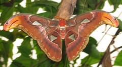 "Atlas Moth (Atticus atlas) • <a style=""font-size:0.8em;"" href=""http://www.flickr.com/photos/57024565@N00/2803960372/"" target=""_blank"">View on Flickr</a>"