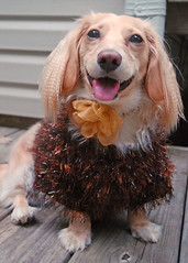 Honey (Doxieone) Tags: dog fall halloween dachshund 2008 31 halloween2008 halloweenfall2008set