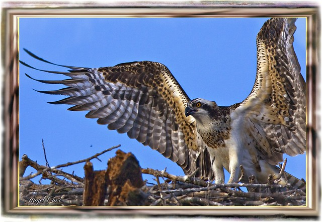 Osprey Summertime Goodbye by Angel Cher ¦