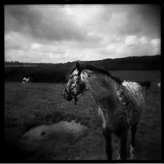 Gigi (Parcelpacker) Tags: horse film holga diafine hp5 nag geegee amindofitsown 44mindev30c nobrakesorindicators