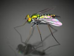 Dolichopodid fly (Techuser) Tags: macro nature animal topv111 insect fly top20animalpix topv555 topv333 close topv444 topv222 diptera raynoxdcr250 specanimal visiongroup vosplusbellesphotos