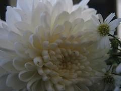 wonders (Jus.) Tags: flowers sun photography blackwhite aperture focus clones zippers rosses happyflowers artofphotography
