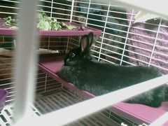 Trixie takes a break from nomming (Nyan Nyan Nyanko) Tags: black rabbit bunny salad lettuce trixie flop dewlap nom dumple