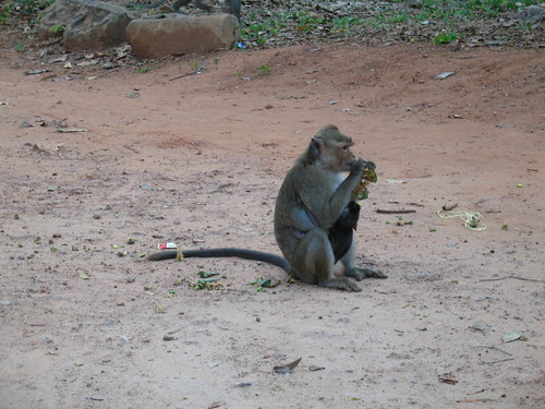 Monkeys of Angkor